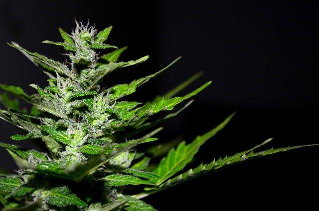 Cannabis sativa a jej obsahové látky
