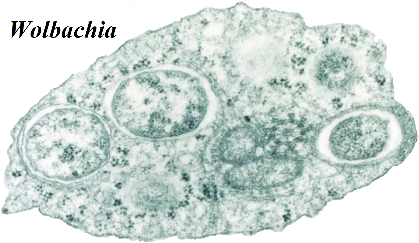 Baktéria, ktorá mení pohlavie bezstavovcov